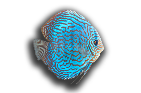Blue freshwater discus fish